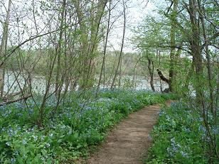 Bluebells on the Riverbend Heritage Trail